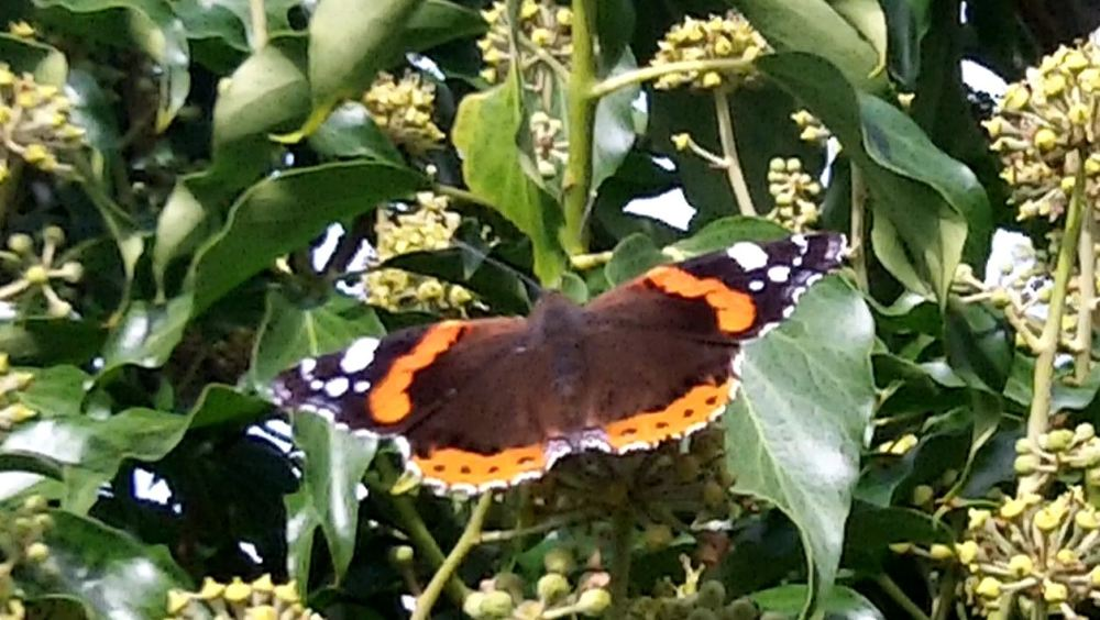 A butterfly on the ivy