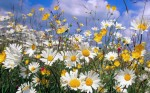 Ox-Eye-Daisies-900x1440 walls-inc.net