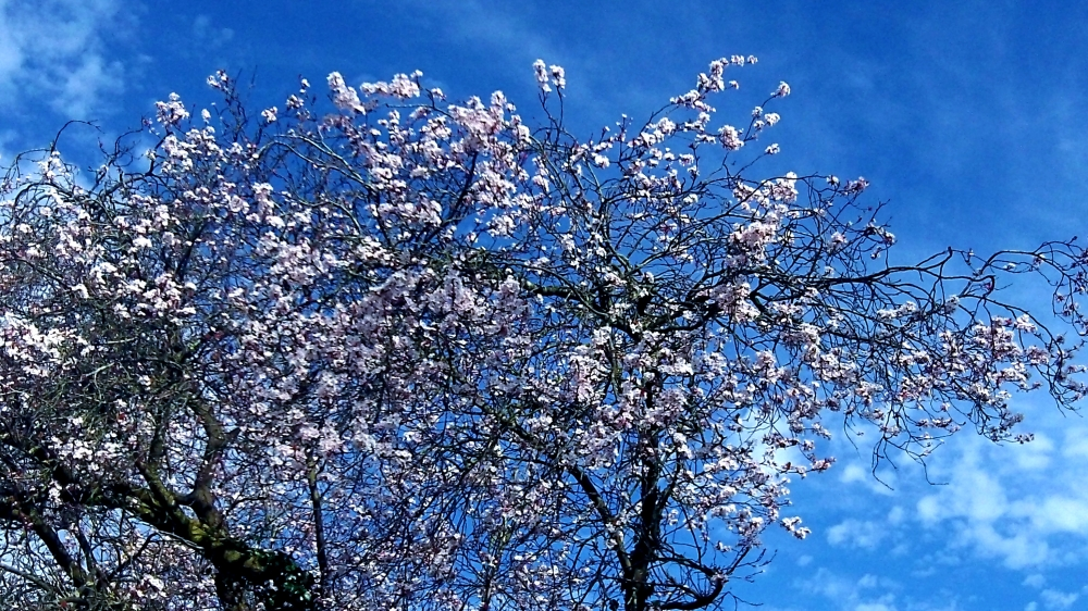 blossom. blue and cotton clouds