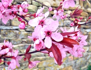 pink blossom before rain