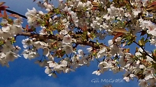 2014  04 29 Blossom again jpg sig