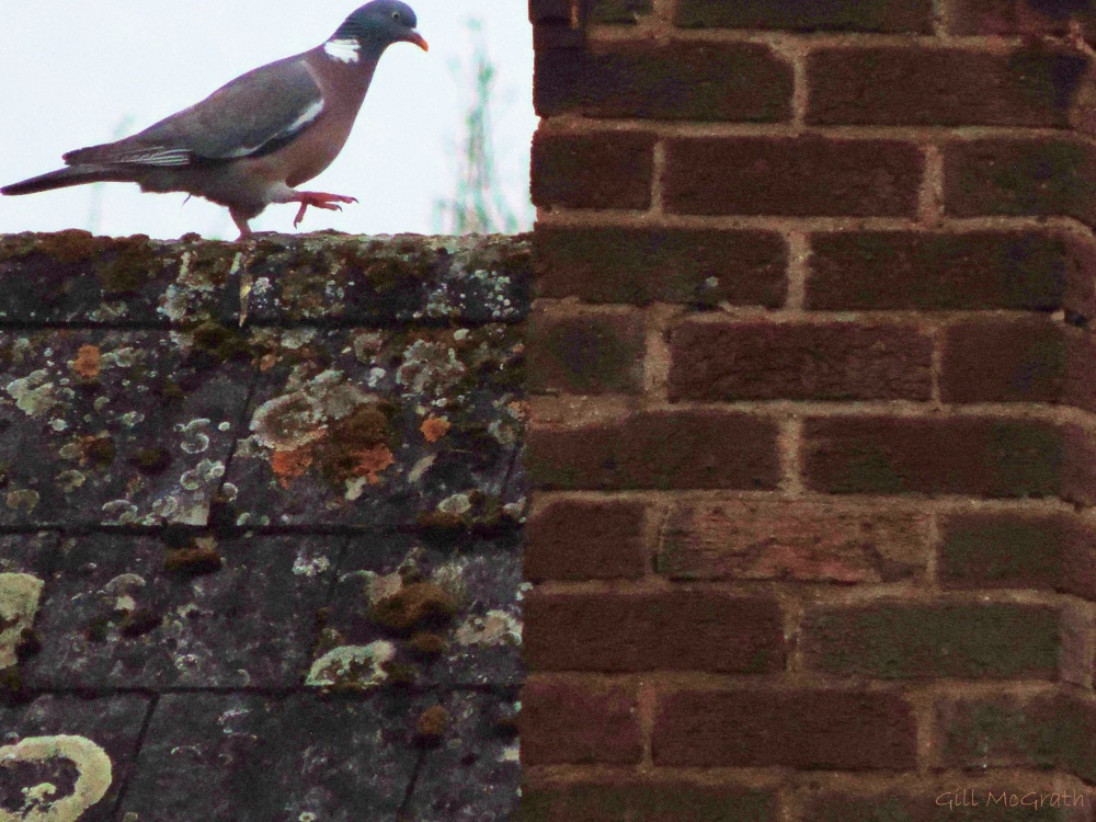 2014 05 07 pigeon on the roof jpg sig