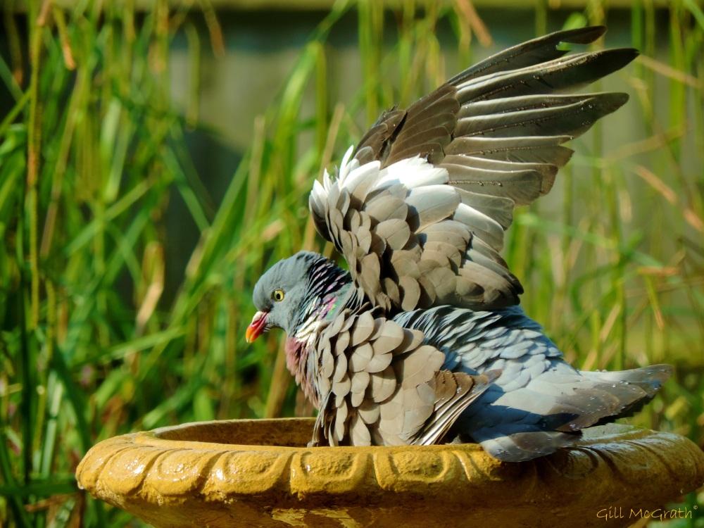 2014 05 19  Pigeon Winging it jpg sig