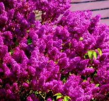 2014 05 20 Lilac jpg sig.