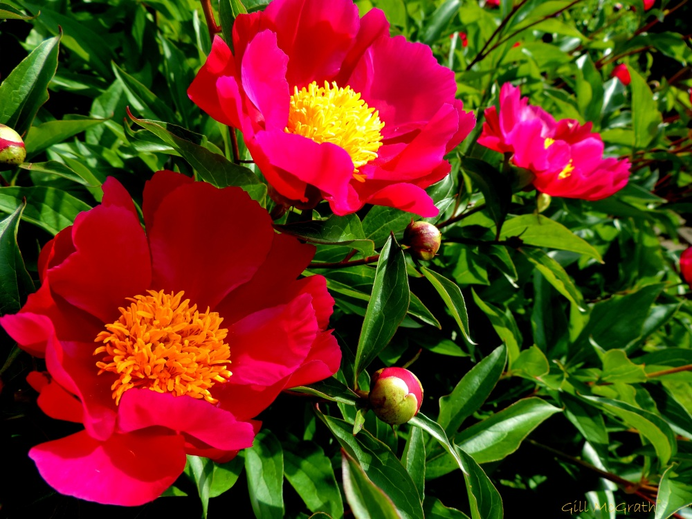 2014 05 31 single yellow centered peonies jpg sig