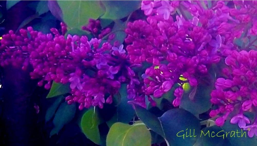 2014 lilac next door 05 01 2014 jpg sig