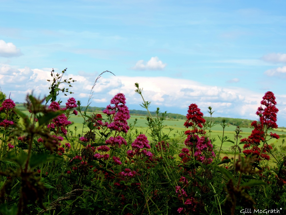 2014 06 03 wild flowers  on edge of field jpg sig