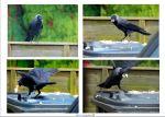 2014 06 13  breaded crow dance jpg sig
