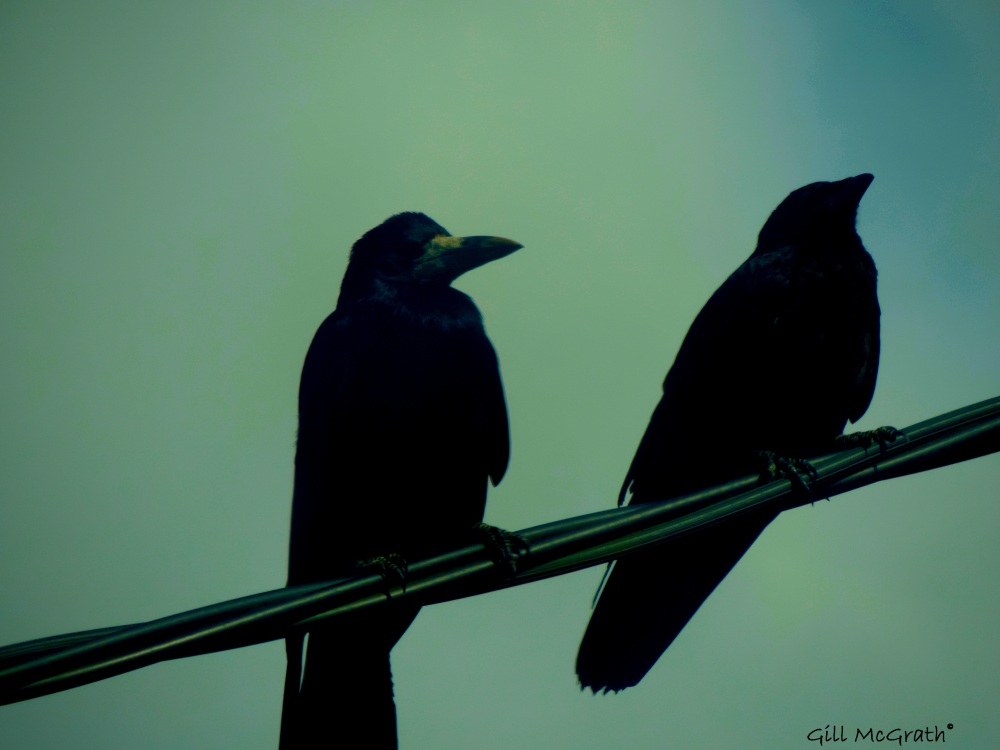 2014  06 13 two beautiful crows jpg sig