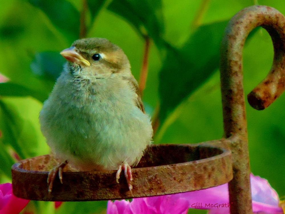 2014 06 14  baby sparrow jpg sig