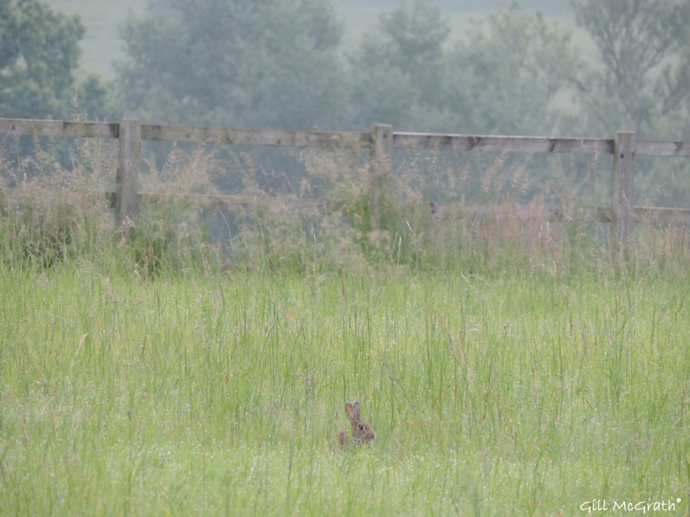 2014 06 23 Hiding in the field. Rabbit