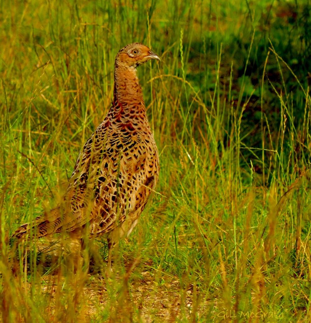 2014 06 30 pheasant in the field jpg sig