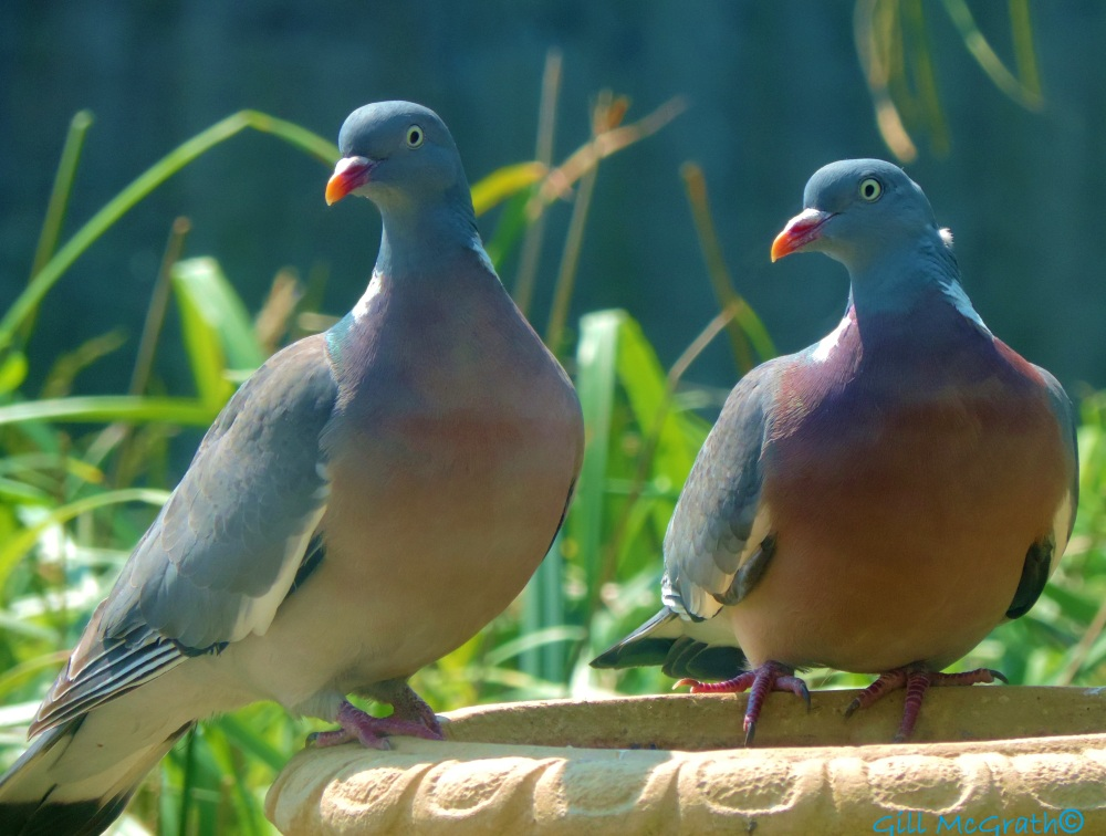 2014 06 23 Two wood pigeons trying to smile jpg sig