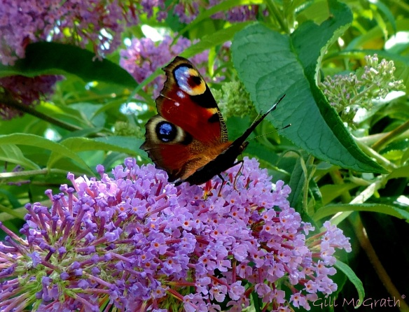 2014 07 21 Buddleia and a butterfly jpg sig