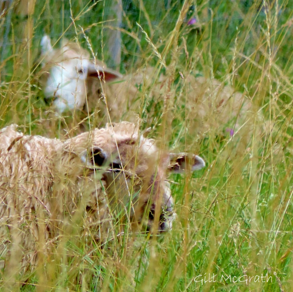 2014 07 21 Sheep  jpg sig