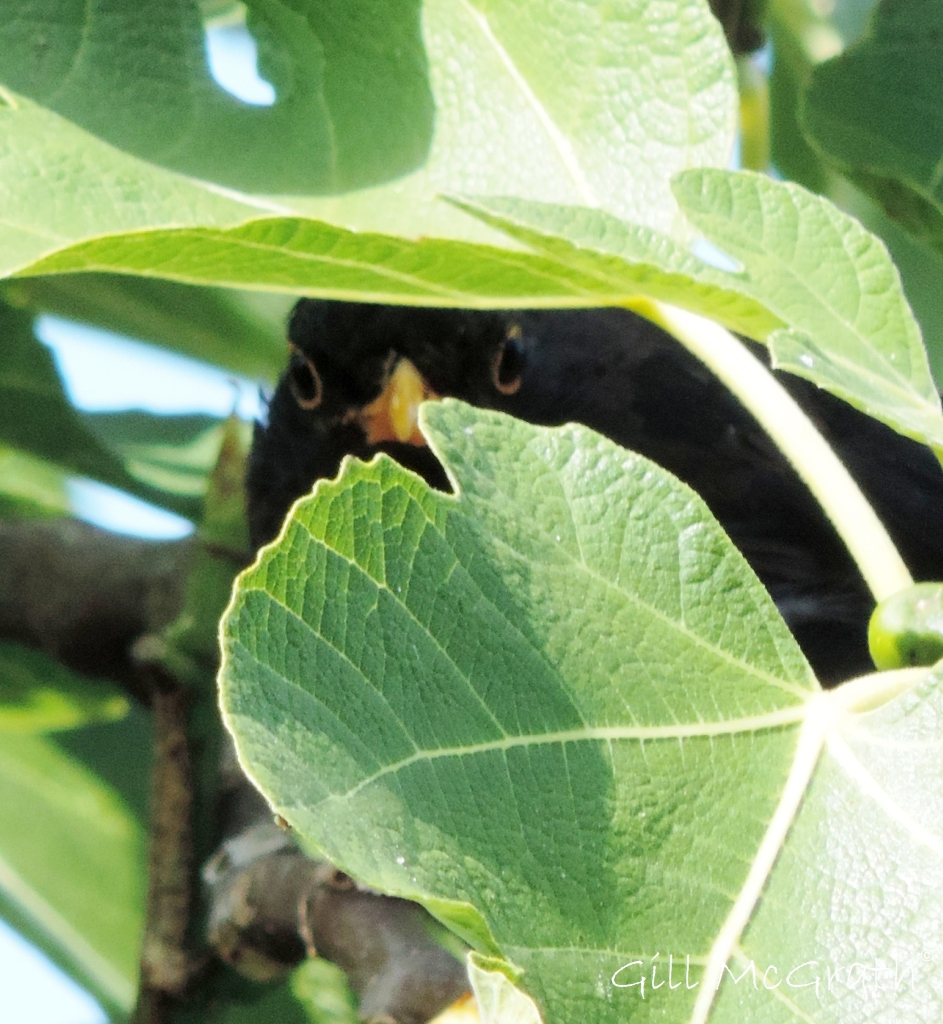 2014 08 22 bird hiding in fig  tree jpg sig