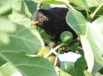 2014 08 25  big black bird fig jpg sig