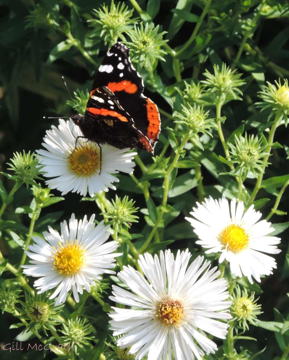 2014 09 09  Butterfly and daisies jpg sig