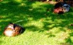2014 09 09 two ducks jpg sig