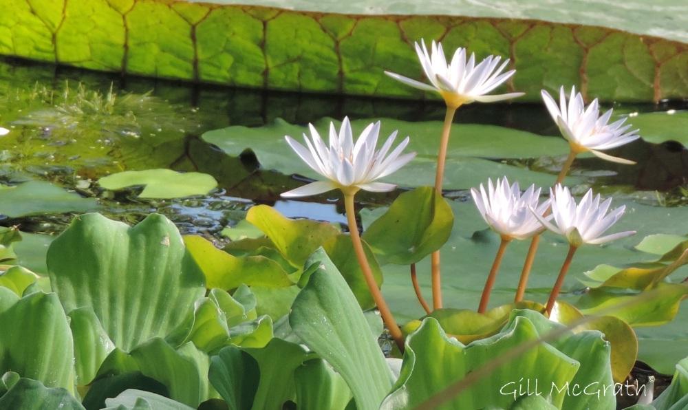 2014 09 10 fabulous waterlilies jpg sig