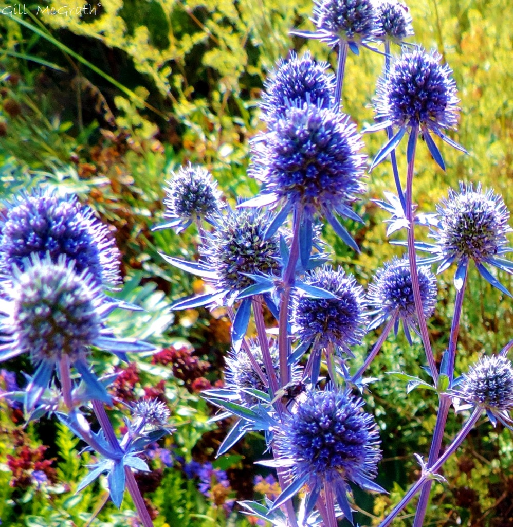 2014 09 12 Blue Thistle (Eryngium planum)jpg sig