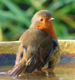 2014 09 16 a robin sits in bathing wings jpg sig