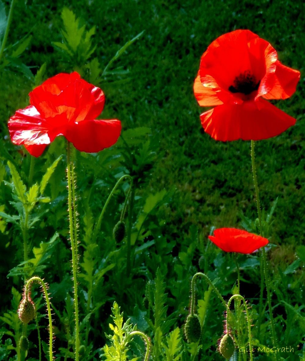 2014 09 21 Poppies still going strong jpg sig