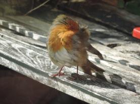 2014 09 22 bird robin stretch jpg sig