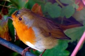 2014 09 22 bird robin under seat jpg sig