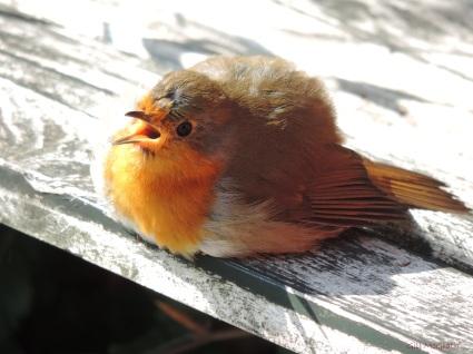 2014 09 22 bird sunbathing robin jpg sig