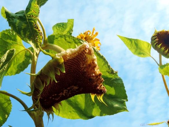 2014 09 23 Giant sunflower seed head  half eaten jpg sig