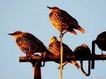 2014  sunglow starlings tonight! jpg sig