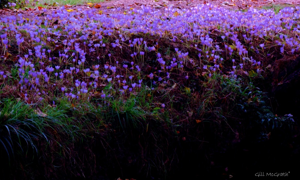 2014 10 07 Bank of Autumn crocus jpg sig
