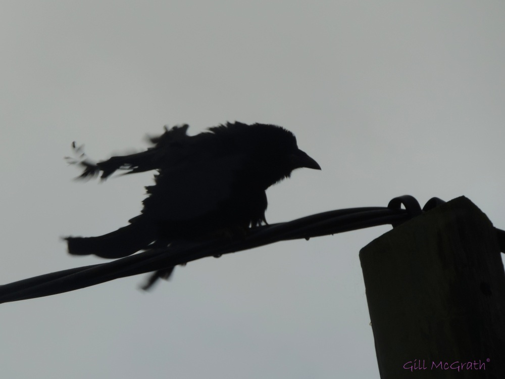2014 10 11 one furious old crow! jpg sig