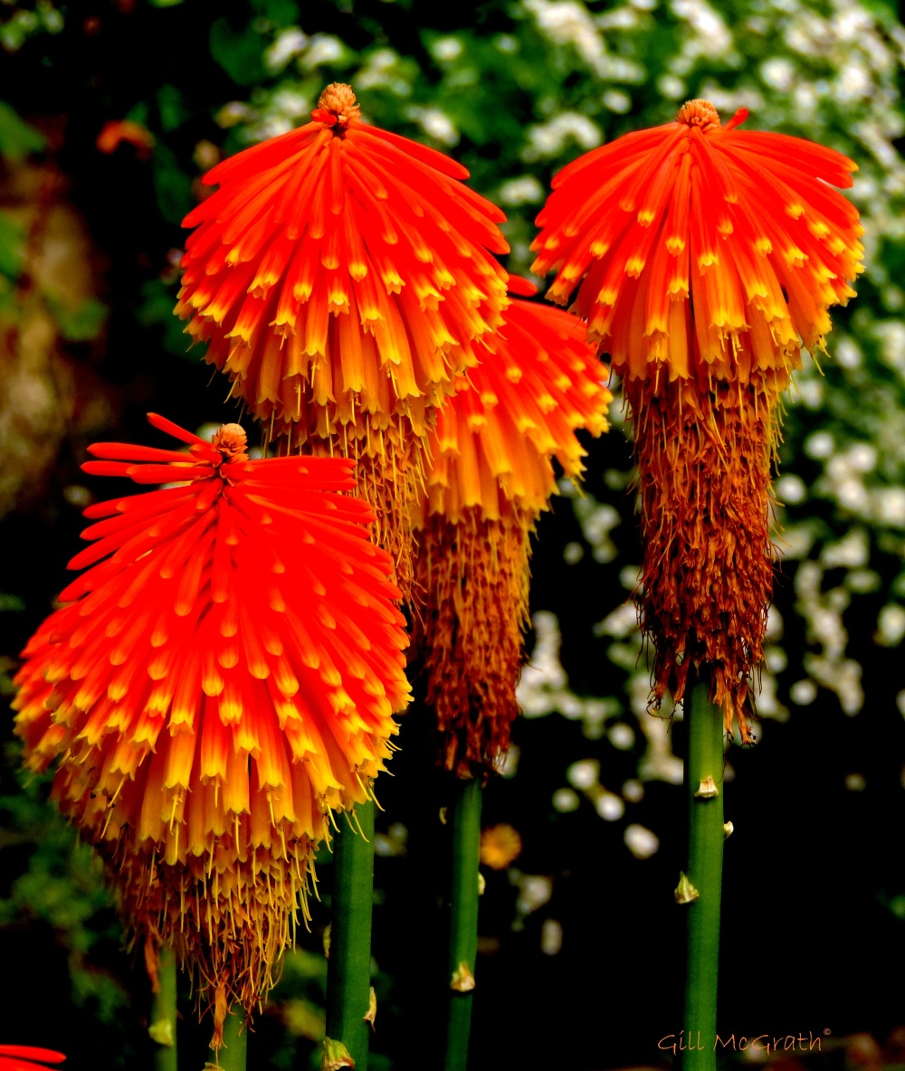 2014 10 12 red hot pokers jpg sig