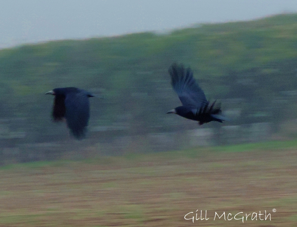 2014 10 15 birds in flight in the field jpg sig