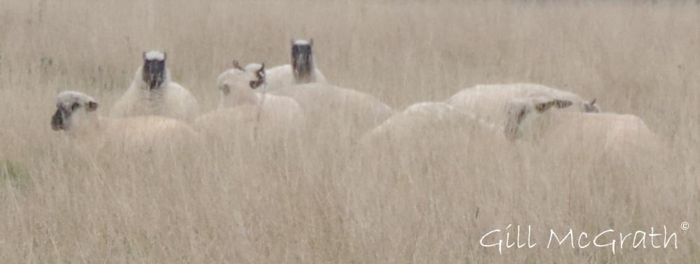 2014 10 15 wool wrapped sheep jpg sig