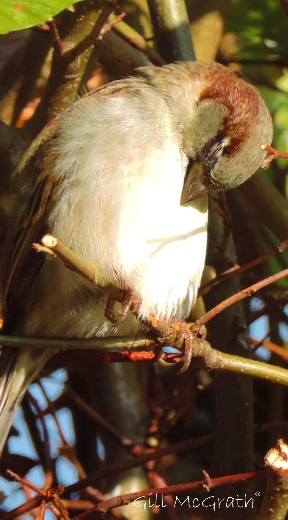 2014 11 05 napping sparrow jpg sig