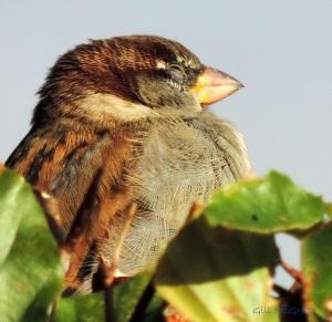 2014 11 13 sleeping sparrow jpg sig