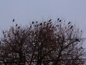 2014 11 19 starlings looking for the sun jpg sig