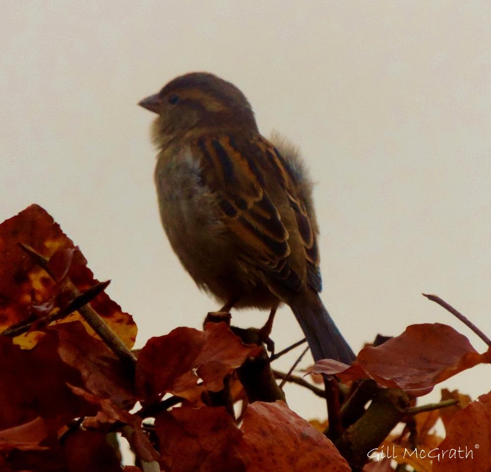 2014 11 22 Sparrow Fur  jpg sig