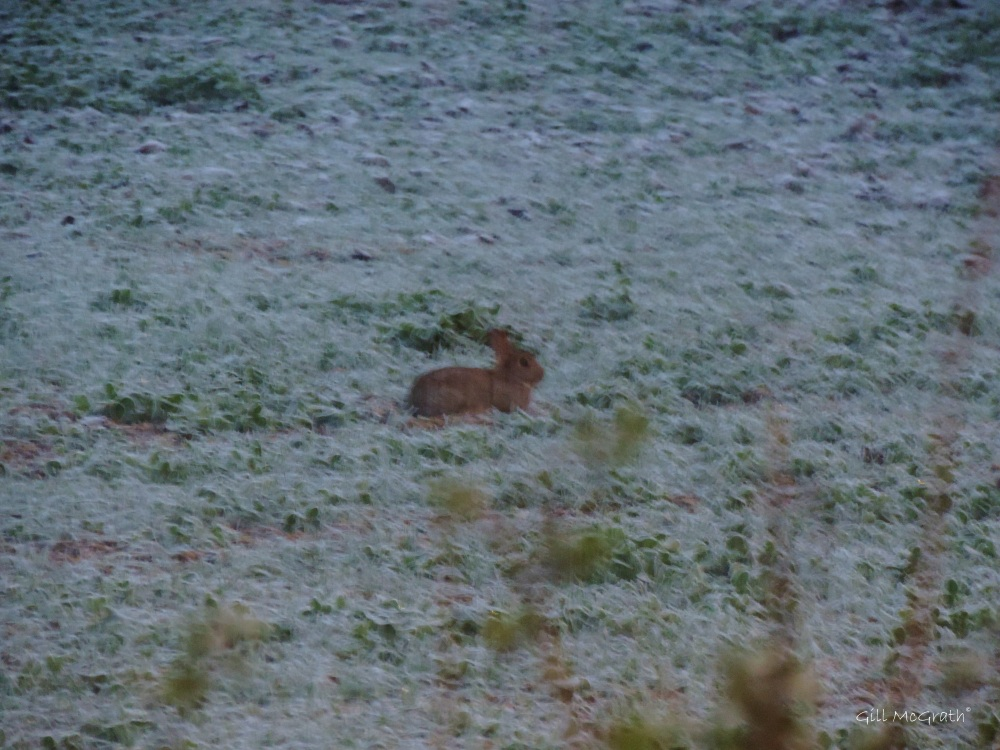 2014 11 25 rabbit on frost in  the  field  jpg sig