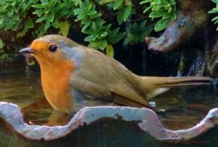 2014 12 27 Robin again jpg sig