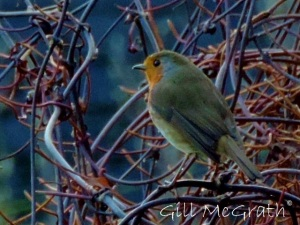 2014 12 27 Robin in the hedge jpg sig