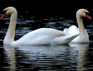 2015 01 01 balance swans jpg sig (2)