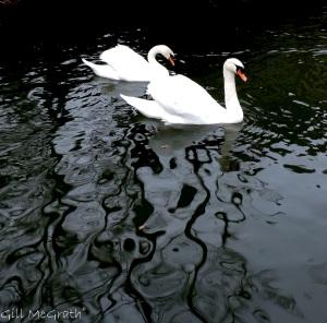 2015 01 01 scream still water  ripples swans jpg sig