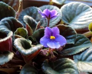 2015 01 10 african violet jpg sig