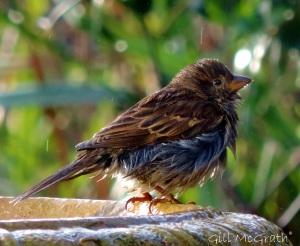 2015 01 13 ragged sparrow in diamonds jpg sig