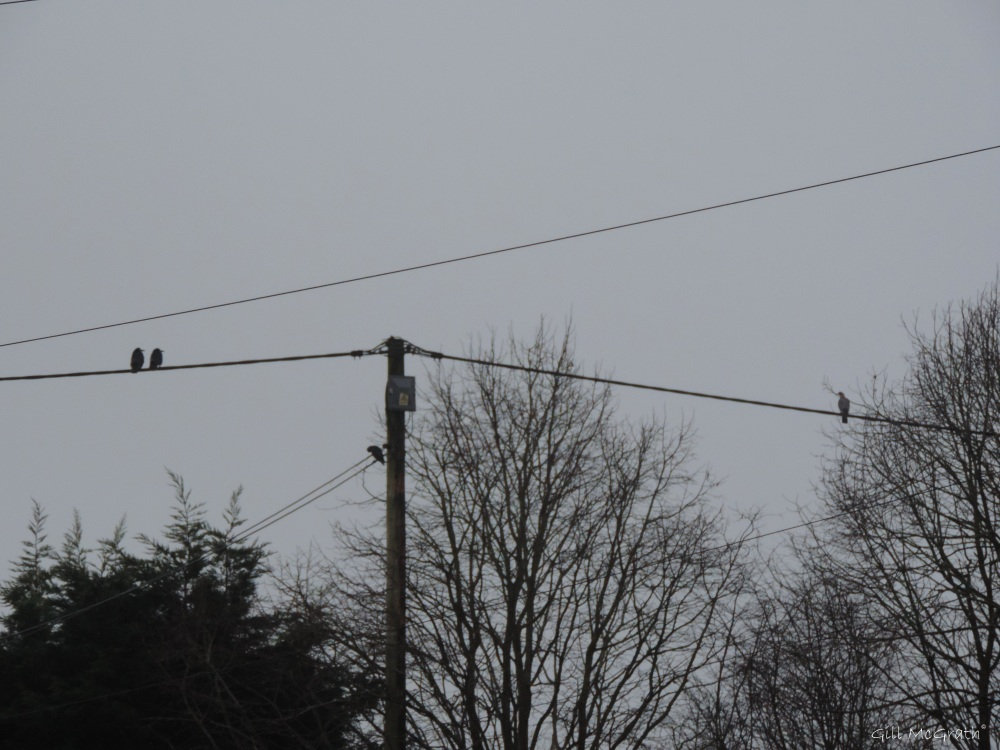 2015  01 21  birds on the wires looking at  a view jpg sig