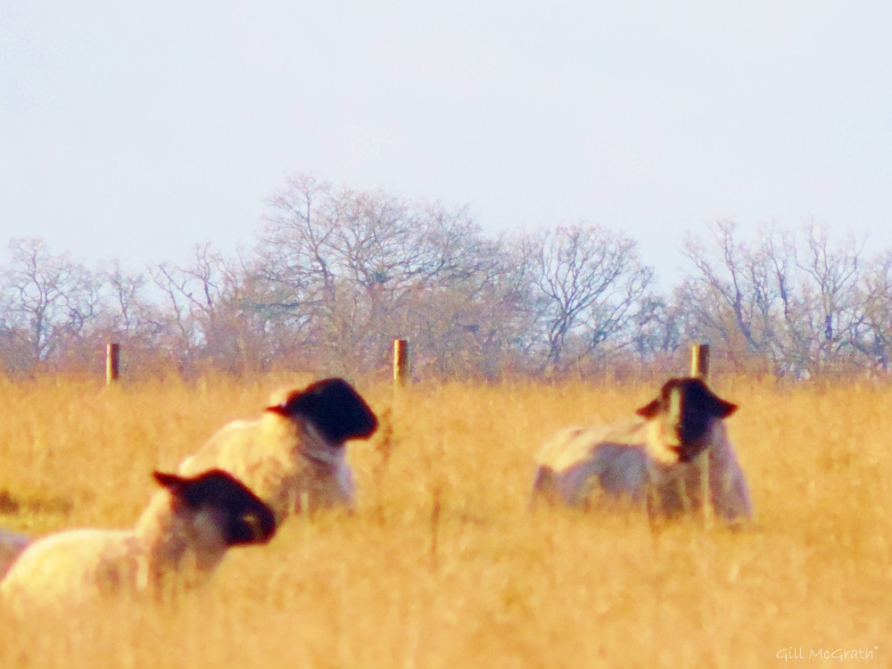 2015 01 26 sheep we three sig jpg sig